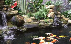 Koi fish pond 1